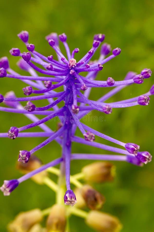 Blomma för tofsdruvahyacint (Muscaricomosum) arkivfoto