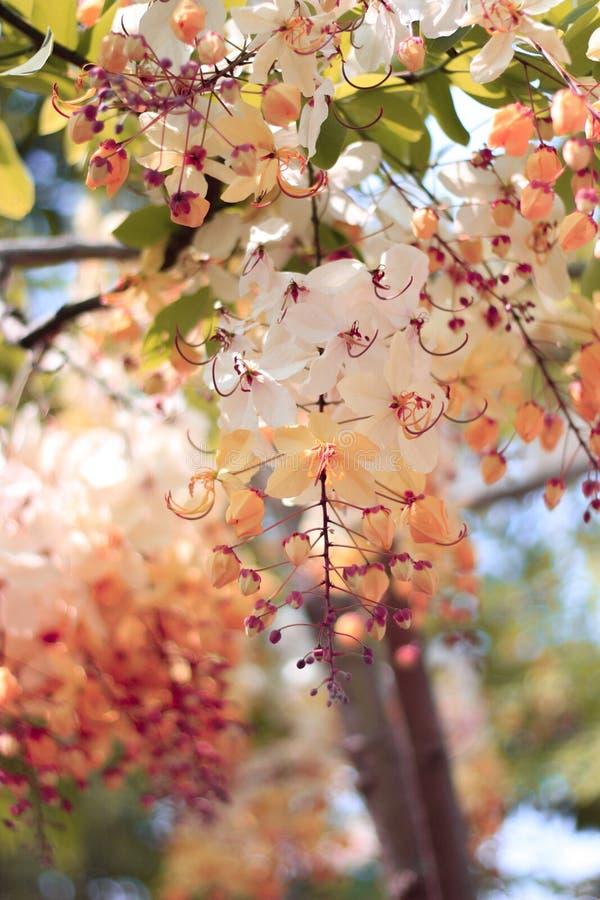 Blomma för träd för regnbågedusch eller vita Ratchaphruek royaltyfri fotografi