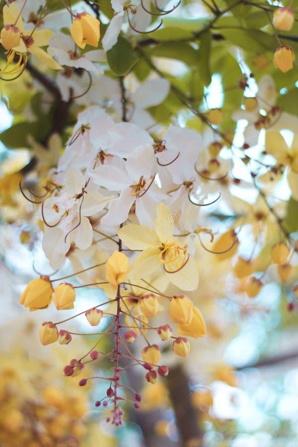 Blomma för träd för regnbågedusch eller vita Ratchaphruek royaltyfria foton