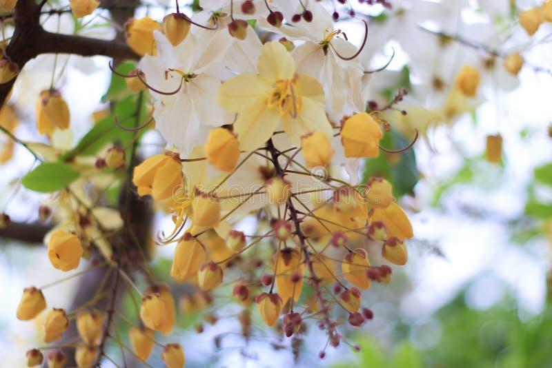 Blomma för träd för regnbågedusch eller vita Ratchaphruek royaltyfri bild