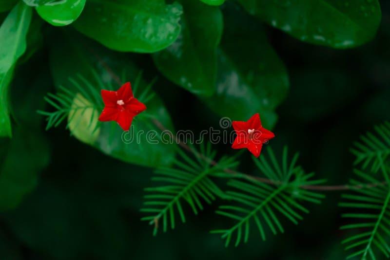 Blomma för två stjärna arkivbilder