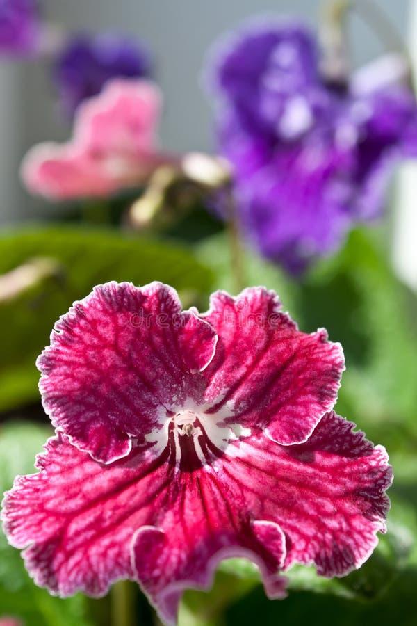 Blomma för uddeprimula arkivbilder