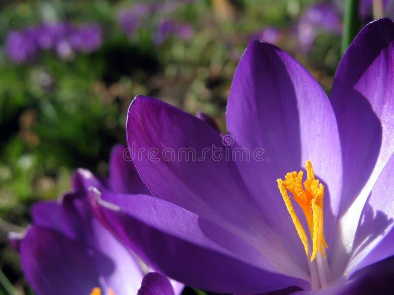 blomma för underlagblomningkrokus royaltyfria foton