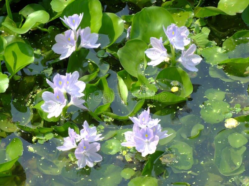 Blomma för vattenhyacint i naturligt vatten i floden royaltyfri bild
