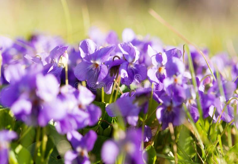 blomma för violetsblommor royaltyfri bild