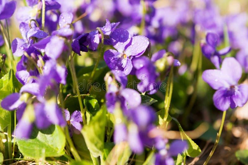 blomma för violetsblommor royaltyfria bilder