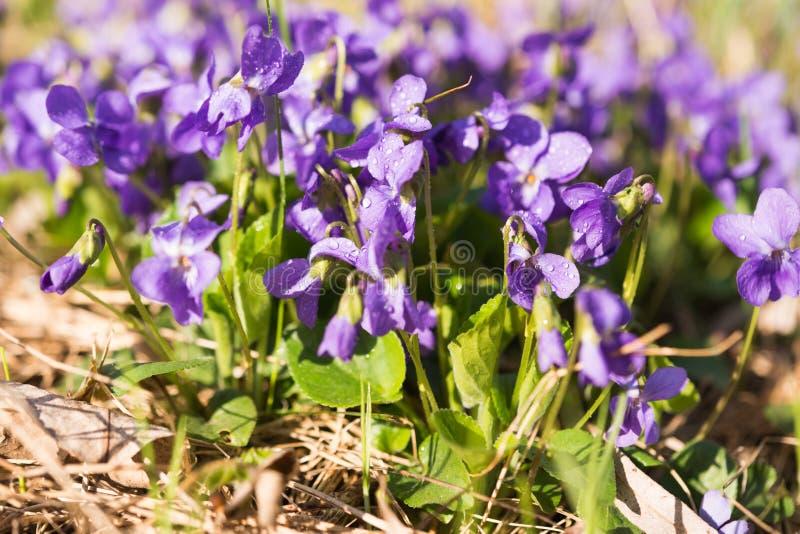 blomma för violetsblommor arkivbild