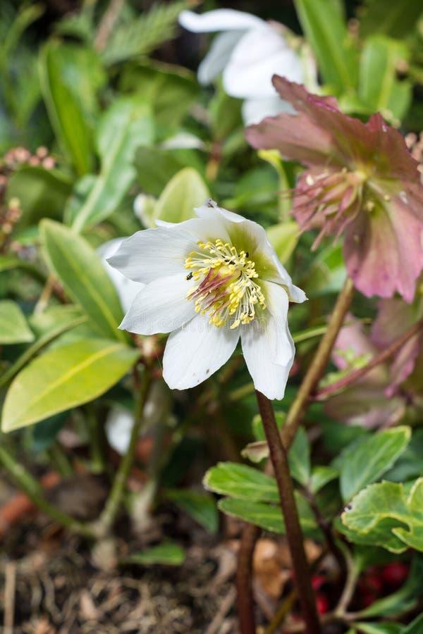 Blomma för vit hellebore arkivfoto