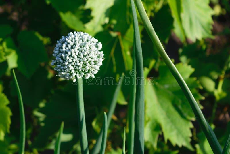 Blomma för vit lök på grön oskarp bakgrund arkivbild