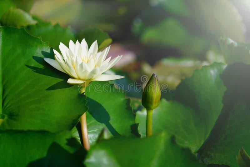 Blomma för vit lotusblomma eller näckrosmed grön sidabakgrund i dammet arkivbild