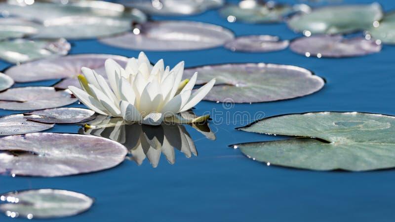Blomma för vit lotusblomma på yttersida för spegelblåttdamm royaltyfri bild
