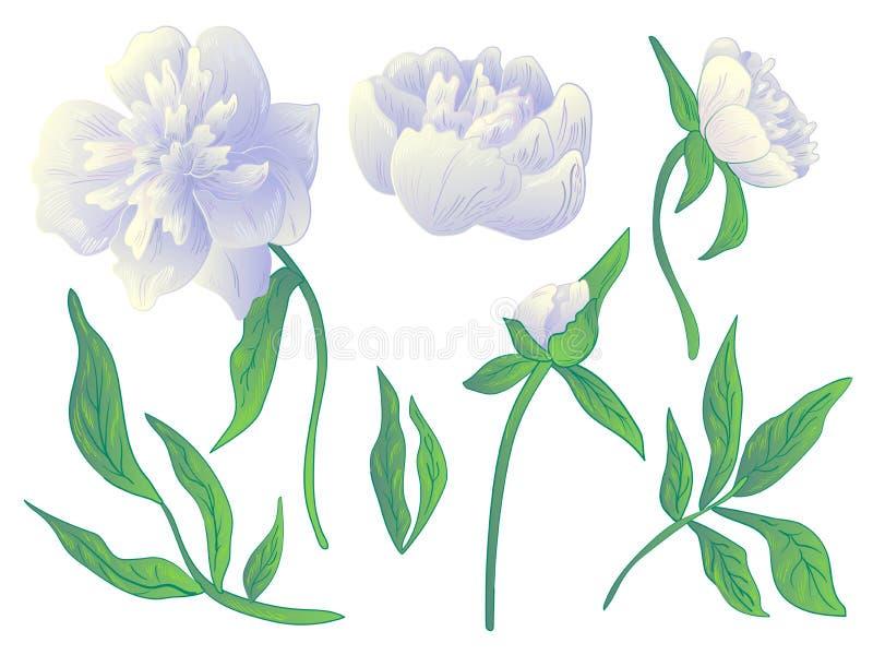 Blomma för vit pion för vektor blom- botanisk Svartvit inristad färgpulverkonst Isolerad pionillustrationbeståndsdel stock illustrationer