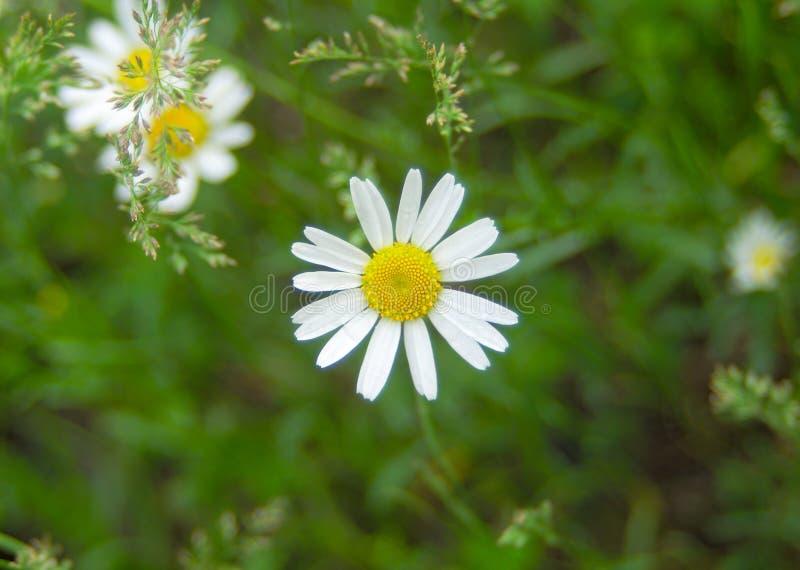Blomma för vit tusensköna i för makrosommar för natur enkel växt för guling arkivbilder