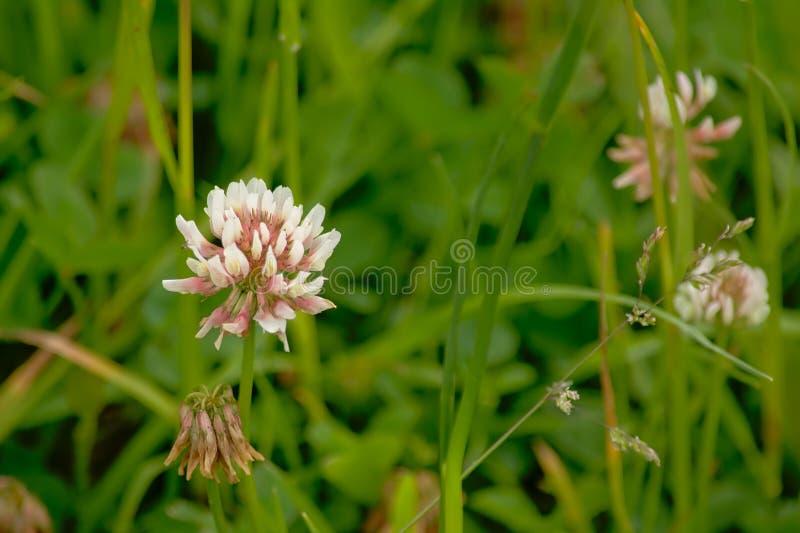 Blomma för vit växt av släktet Trifolium i högt grönt gräs, närbild arkivfoto