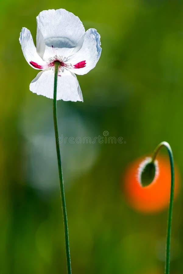 Blomma för vit vallmo på grön bakgrund arkivfoto