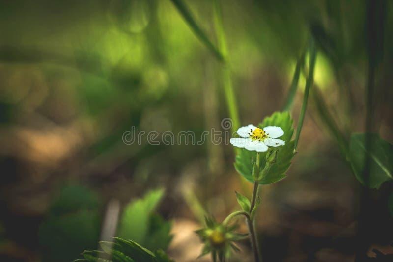 Blomma f?r l?s jordgubbe Delikata vita blommor p? sommarnaturen royaltyfri fotografi