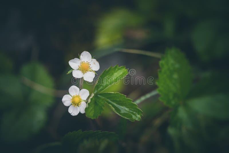 Blomma f?r l?s jordgubbe arkivfoto