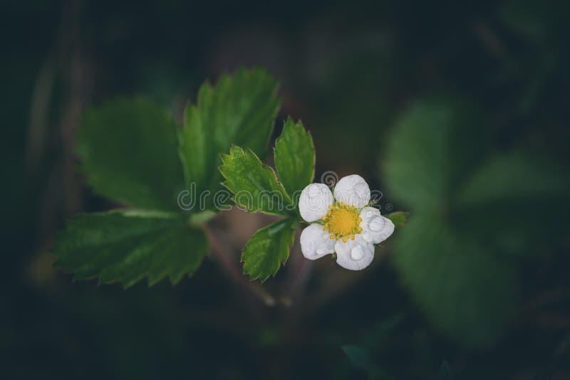 Blomma f?r l?s jordgubbe royaltyfria bilder