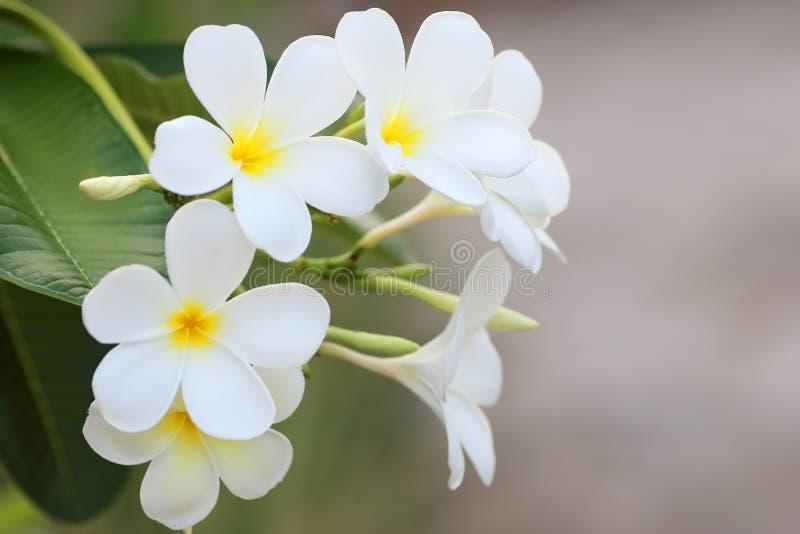 Blomma f?r vit frangipani f?r Plumeriablomma tropisk arkivbild