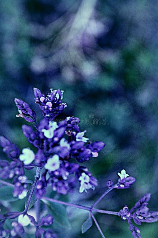 Blomma fattar lilor royaltyfri fotografi