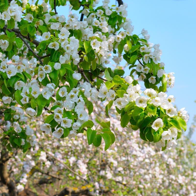 Blomma filialen av den blommande vårträdgården för päron Blommar päron c fotografering för bildbyråer