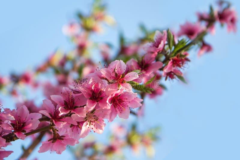 Blomma filialen av en persika på en blå himmel fotografering för bildbyråer