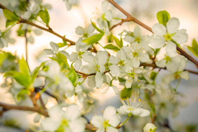 Blomma filialen av körsbäret i de första strålarna av solnedgången arkivfoton