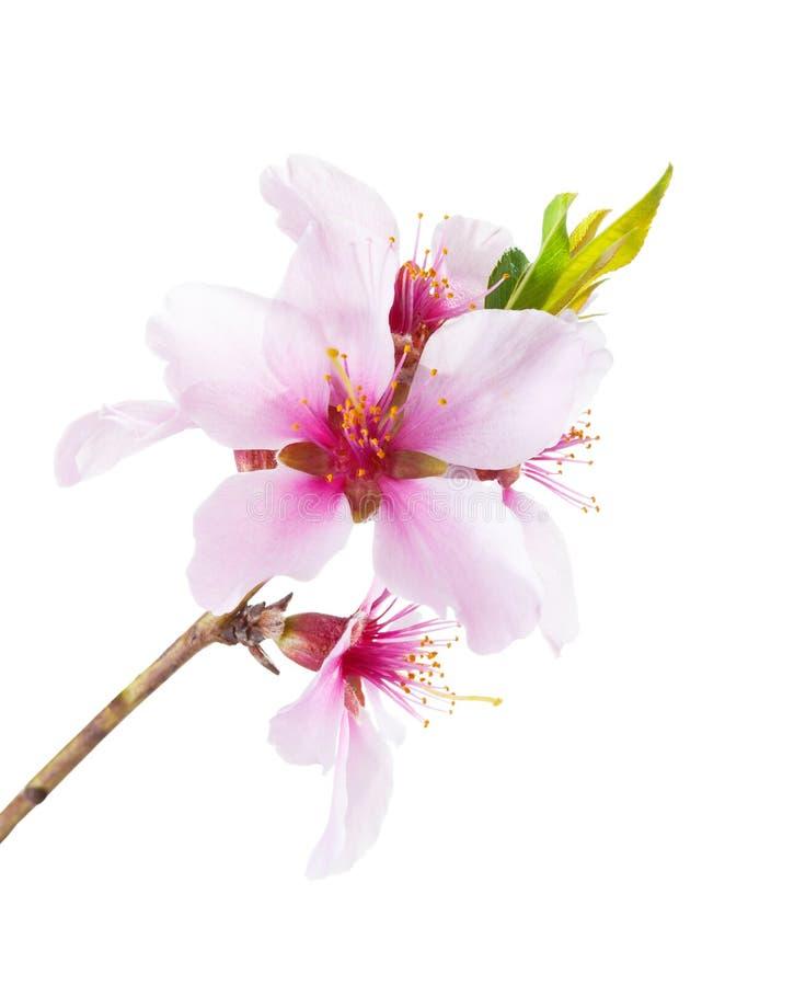 Blomma filialen av mandeln som isoleras på vit bakgrund royaltyfria bilder