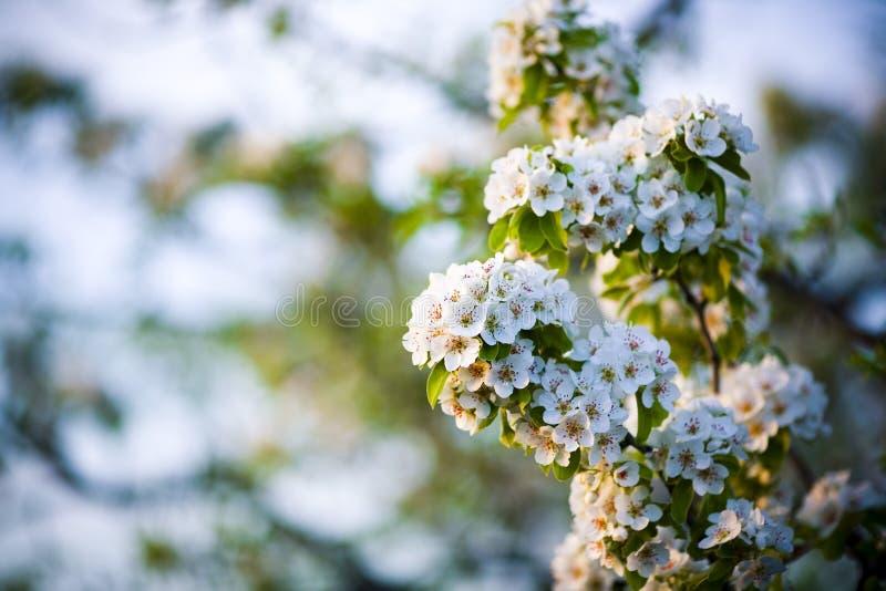 Blomma filialen av päronet Att blomma fjädrar trädgården Blommar päronnärbild suddighet bakgrund arkivbilder