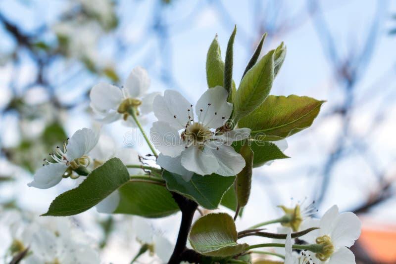 Blomma filialen av päronet Att blomma fjädrar trädgården Blommar päronnärbild suddighet bakgrund Päronblomning i tidig vår royaltyfri foto