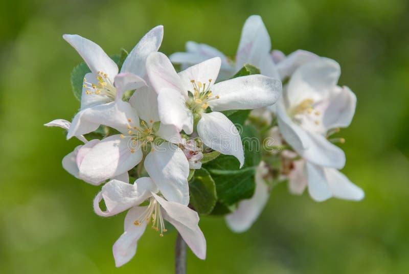 Blomma filialen av p?ronet Att blomma fj?drar tr?dg?rden Blommar p?ronn?rbild suddighet bakgrund P?ronblomning i tidig v?r arkivfoto