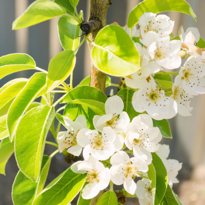 Blomma filialen av p?ronet Att blomma fj?drar tr?dg?rden N?rbild Blommor h?rlig sikt Selektivt fokusera arkivfoto