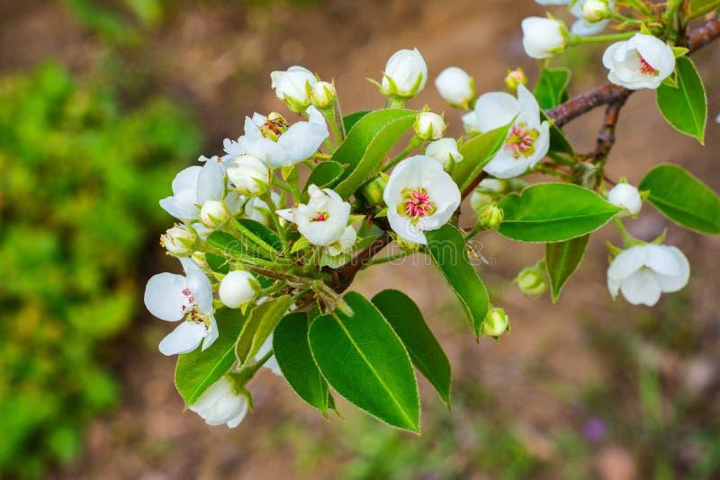 Blomma filialen av p?ronet Att blomma fj?drar tr?dg?rden royaltyfria bilder