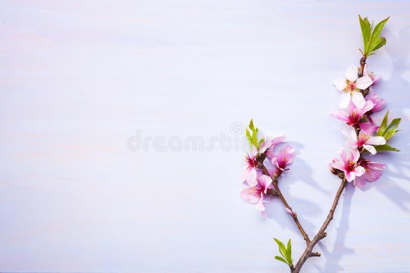 Blomma filialer av mandeln på en ljus lila trätabell royaltyfria foton