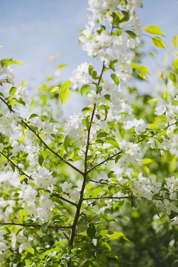blomma filialtree för äpple royaltyfri bild