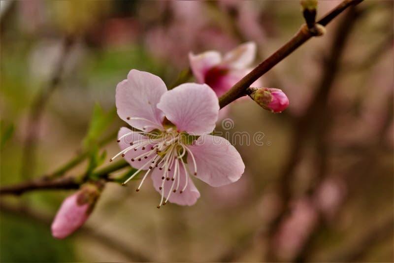 blomma fjädertree royaltyfria foton