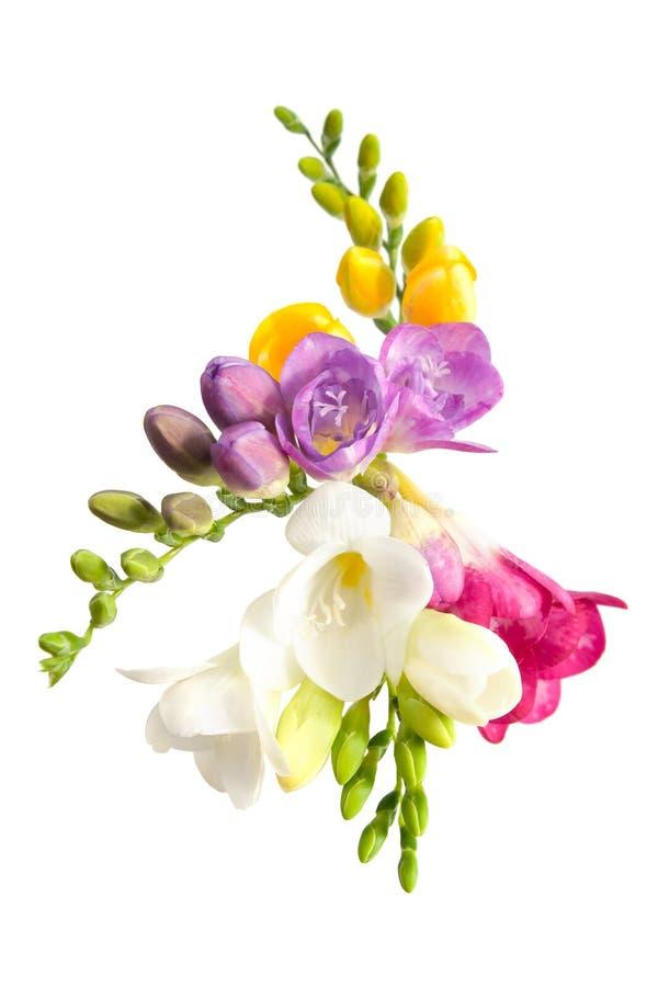 blomma freesia royaltyfri bild