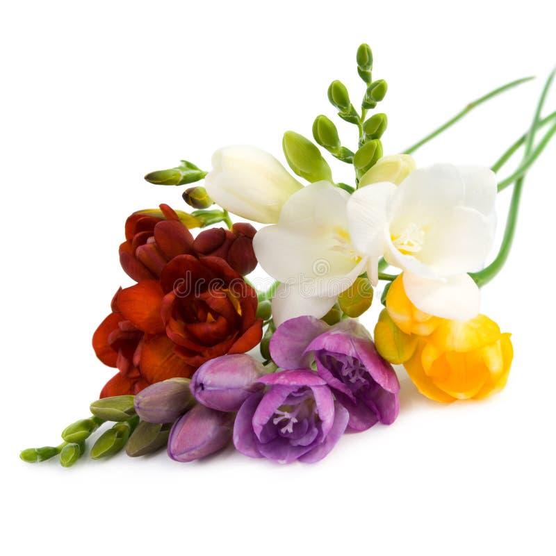 blomma freesia royaltyfri foto