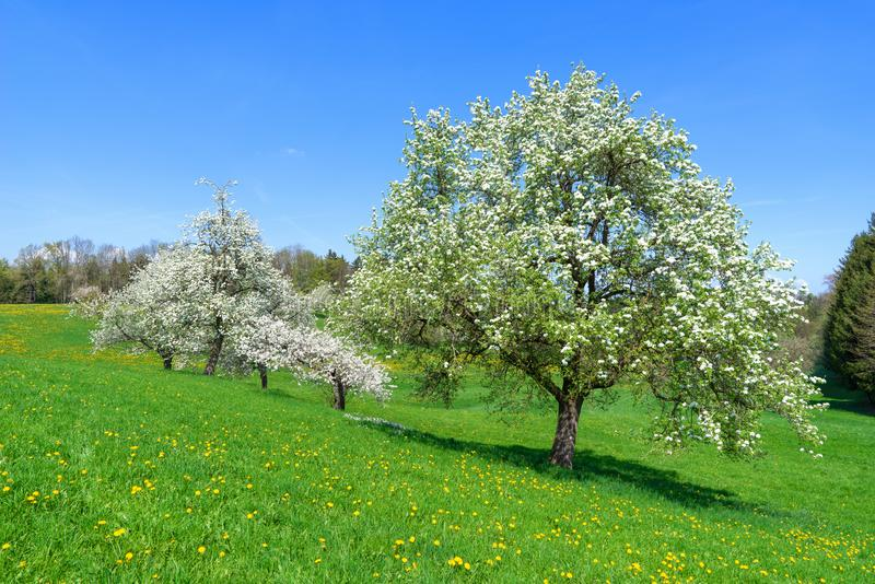 Blomma fruktträd på en slutta blommaäng royaltyfri bild