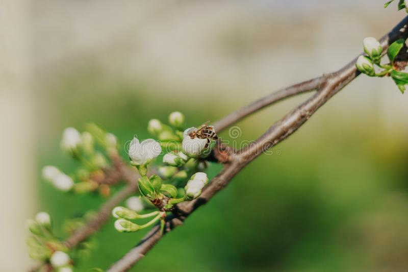 Blomma fruktträdet på blommor för naturbakgrundsvåren fjädra bakgrund royaltyfria foton