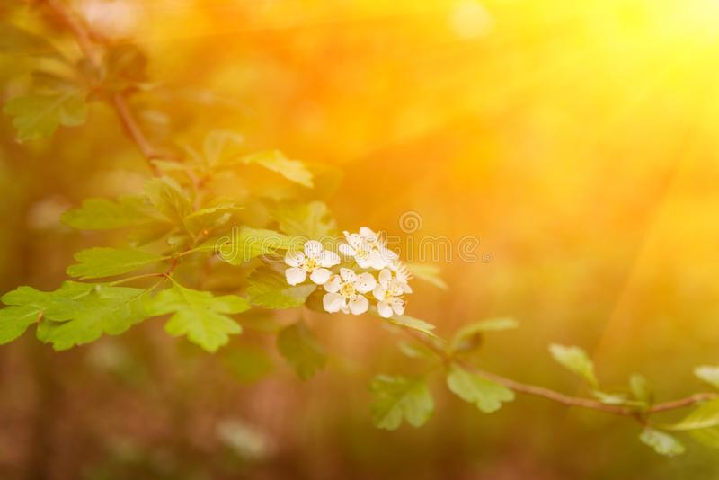 Blomma frunch av hagtorncrataegusmonogynaen i solljus, naturlig bakgrund arkivfoto