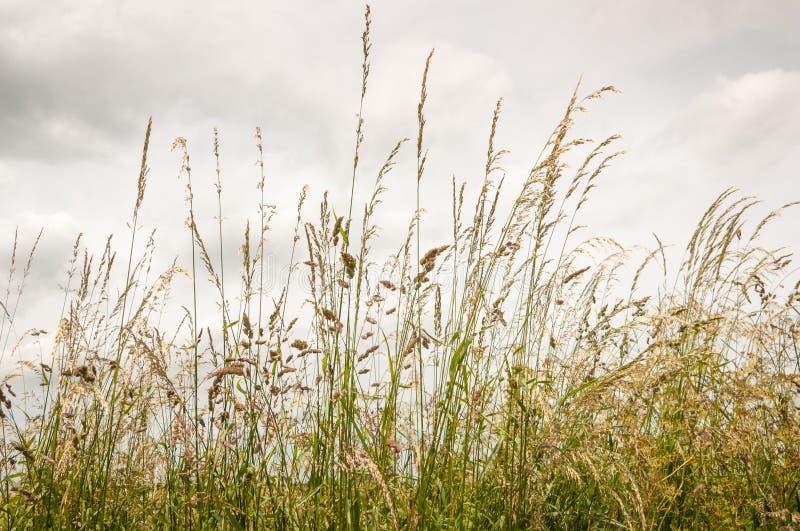 Blomma gräs mot en molnig himmel royaltyfri bild