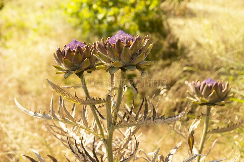 Blomma grönsakväxtkronärtskockan i sommarträdgård royaltyfria bilder