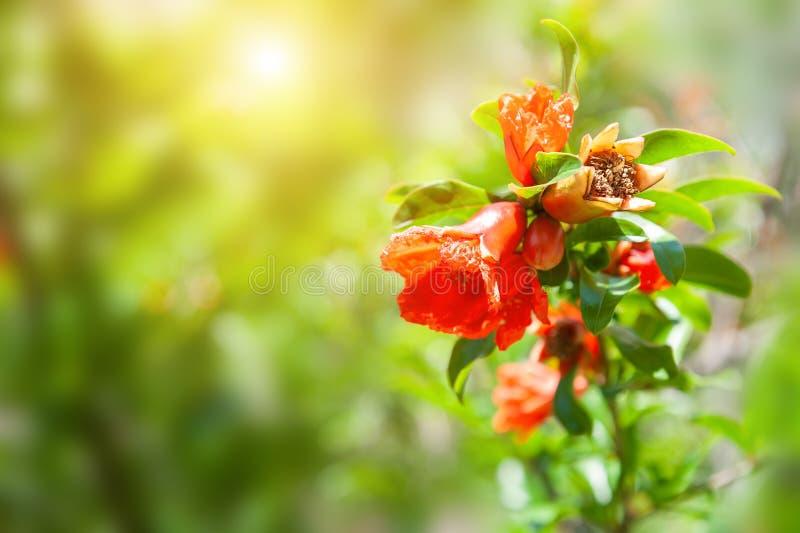 Blomma granatäppleblommor med gröna sidor arkivbild