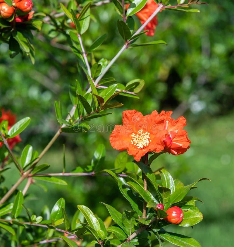 Blomma granatäpplebusken med röda blommor royaltyfri foto