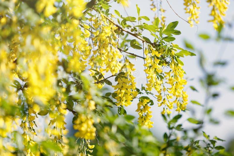 Blomma gula blommor på träd på vårtid med solljus Blomstra gula träd i trädgård Vårsäsong, natur arkivbilder