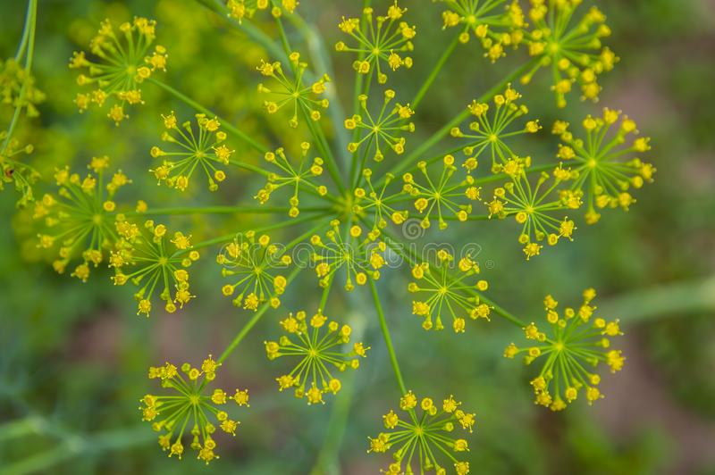 Blomma gula fältväxter - makrofoto arkivfoton
