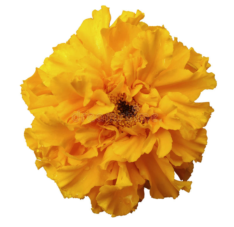 Blomma, gulna, med dagg, vit isolerad bakgrund med den snabba banan Inget skuggar royaltyfria foton