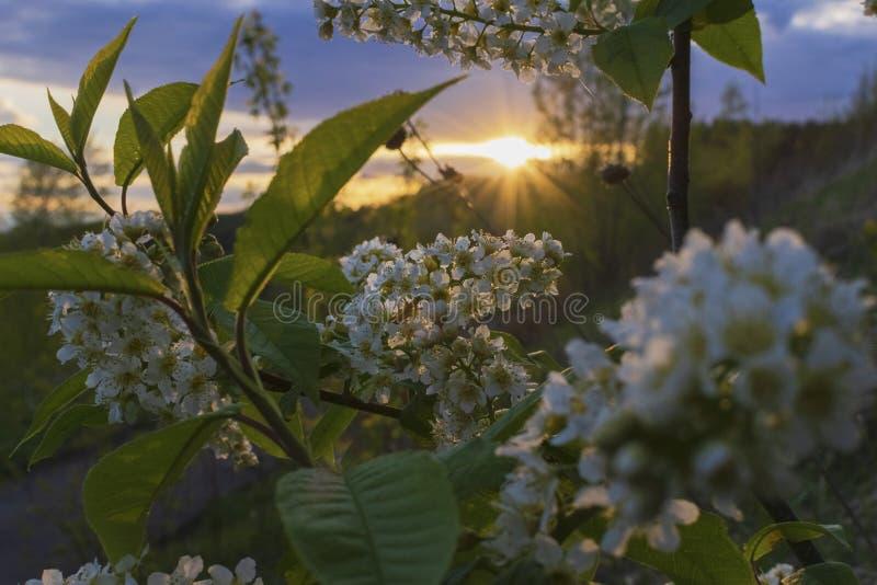 Blomma hägget på solnedgången royaltyfria bilder