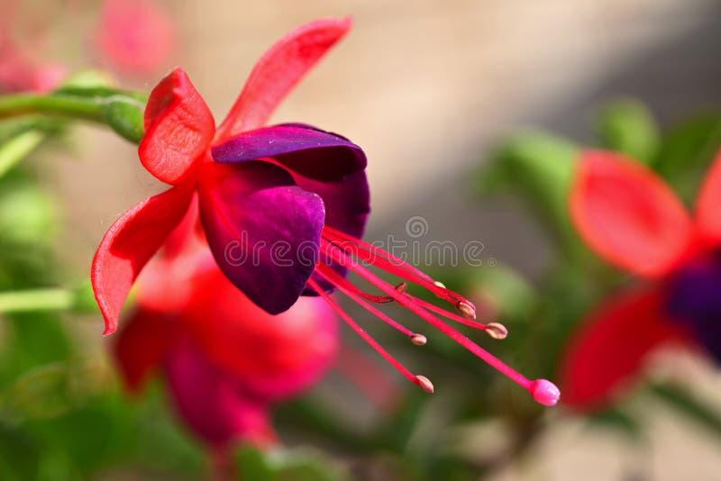 Blomma Härlig blomstra fuchsia Naturlig färgrik suddig bakgrund fuchsia arkivbilder
